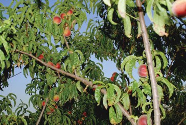 Georgia Peach Council Promoting Its Fruit in a Variety of Ways