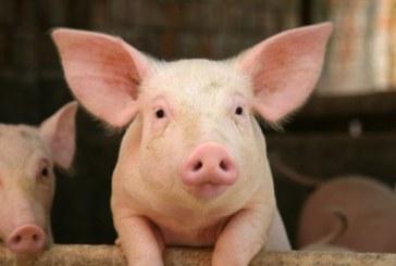 Kroger Promotes Gestation Crate-Free Environment