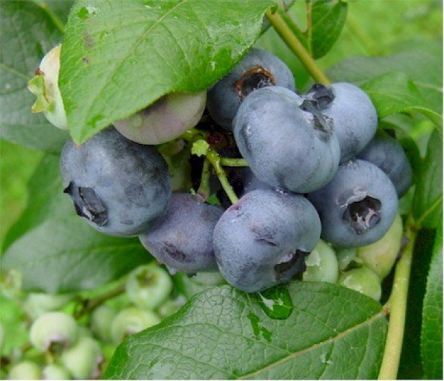 USHBC Releases Preliminary 2012 Blueberry Production Stats