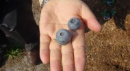 UGA Titan blueberries in hand