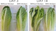 Moxiyo-Lettuce