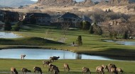 Elk at Mariana Butte Golf Course in Loveland, Colo.