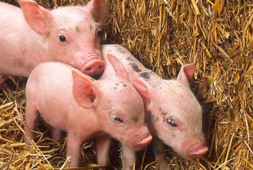 Ahold Urges Pork Suppliers To Eliminate Gestation Crates