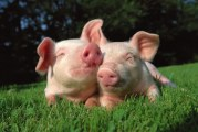 Pork Producers Call For Greater Oversight Of Plant-Based Protein