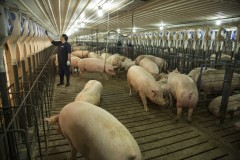 Cargill Moves To Group Housing For Company's Sows