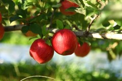 Domex Superfresh Talks Promotional Opps For Fall Apple Crop