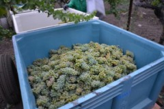 Napa Valley Harvest Begins Today