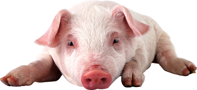 pig for web