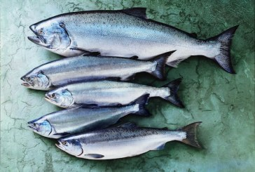 Record-Breaking Season Expected As Alaska's Wild Salmon Harvest Kicks Off