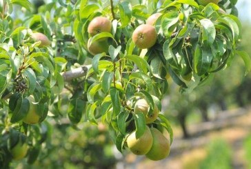 Slight Drop Expected In Washington, Oregon Pear Crops