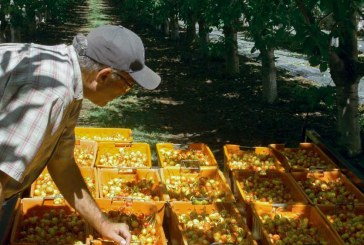 CMI Releases Behind-The-Scenes Video Of Rainier Cherry Harvest