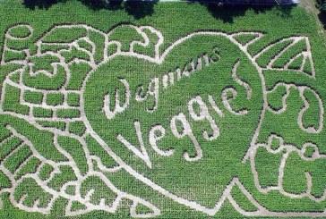 Wegmans' 100th Anniversary Being Commemorated In Corn Maze