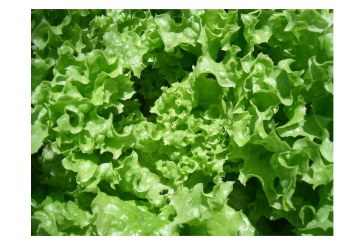 Consumer Reports: Consumers Should Avoid Romaine Lettuce For Now