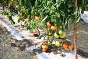 AgriLife Wants To Boost Texas Tomato Production Through Grafting