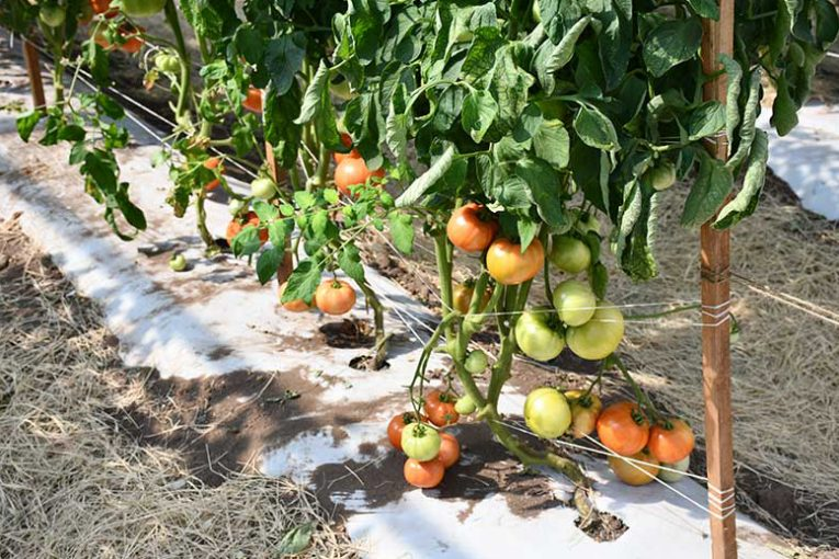 Tomatoes grown in a protected environment system. (Texas A&M AgriLife research photo)