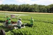 Trembling Prairie Farms Begins Wisconsin Celery Crop Harvest