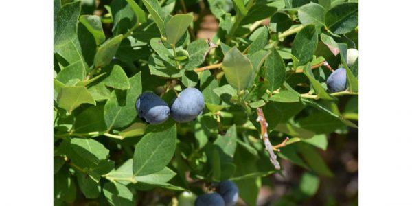 Crystal Valley Foods blueberries